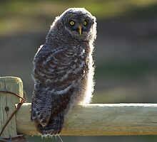 Juvenile Great Grey Owl by JamesA1