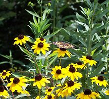 Black-eyed Susans and Butterflies by James Brotherton