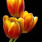 Tulip Trio - Heat Wave by nikongreg