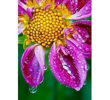 Weeping Dahlia - In Remembrance Photographic Print