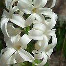 White hyacinth by Ana Belaj