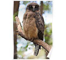 Rufous Owl. Queensland, Australia. Poster