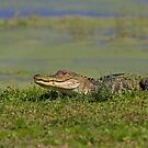 See you later alligator by Jim Cumming