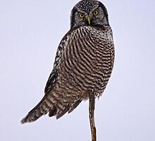 Northern Hawk Owl by Vickie Emms