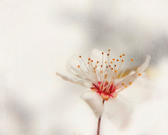 blossom by Ingrid Beddoes