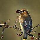 Cedar Waxwing by Bryan Peterson