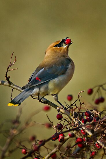 I like berries by Bryan Peterson