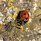 Ladybird and Lichen by dilouise