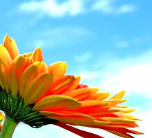 Gerbera in the Sky by jewelsofawe
