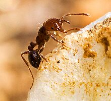 Fire Ant on Quartz by Otto Danby II