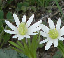 Most Windflowers (Ten-Petal Anemones) are White by Navigator