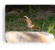 Cape Robin Canvas Print