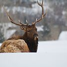 Snow Elk by jeff welton