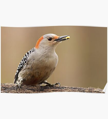 Female Red Bellied Woodpecker Poster