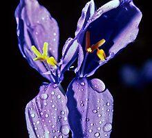 Purple lilies Pemberton-Walpole 198208280022 by Fred Mitchell