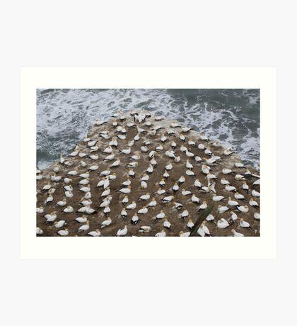 Gannets nesting Art Print