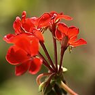 Geraniums by Joy Watson