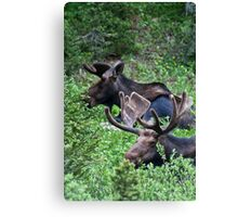 Bull Moose 2 Canvas Print