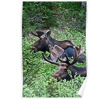 Bull Moose 2 Poster