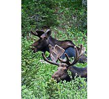 Bull Moose 2 Photographic Print