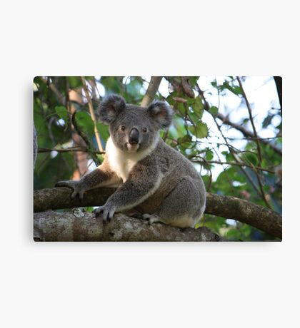 Baby Koala In Our Tree Canvas Print