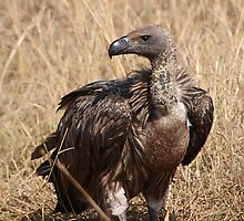 White-backed Vulture by Carole-Anne
