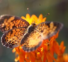 Butterfly Flower by roysmith