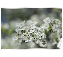 Washington Hawthorn Blooms Poster