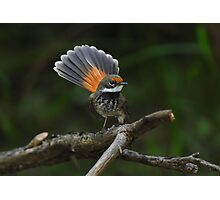 Rufous Fantail Photographic Print