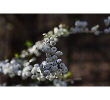 Bridal Wreath Photographic Print