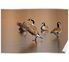Wild Goose Waltz, Canada goose in Montana Poster