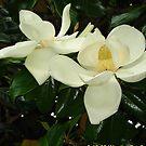 Magnolia blossom 2 by dge357