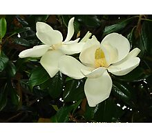 Magnolia blossom 2 Photographic Print