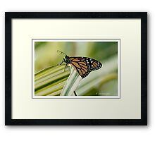 monarch butterfly 6 Framed Print