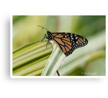monarch butterfly 6 Canvas Print