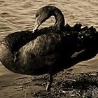 Swan 1 by Melissa Gray