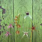 Cerise Spider Orchid on Green Painted Wall, native orchids of Western Australia. by Leonie Mac Lean