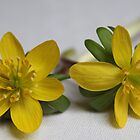 Winter Aconite by karina5