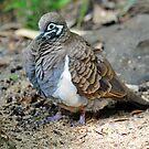 Squatter Pigeon. Queensland, Australia. (Endangered Species) by Ralph de Zilva