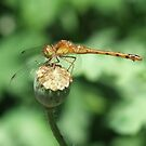 Perched On a Poppy Pod by Tracy Faught