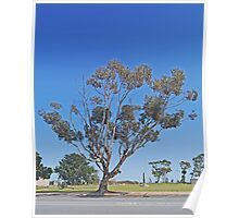 Roadside Tree, Meningie, South Australia Poster