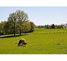 Once upon a cow... Photographic Print