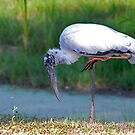 Wood Stork  by Jim Cumming