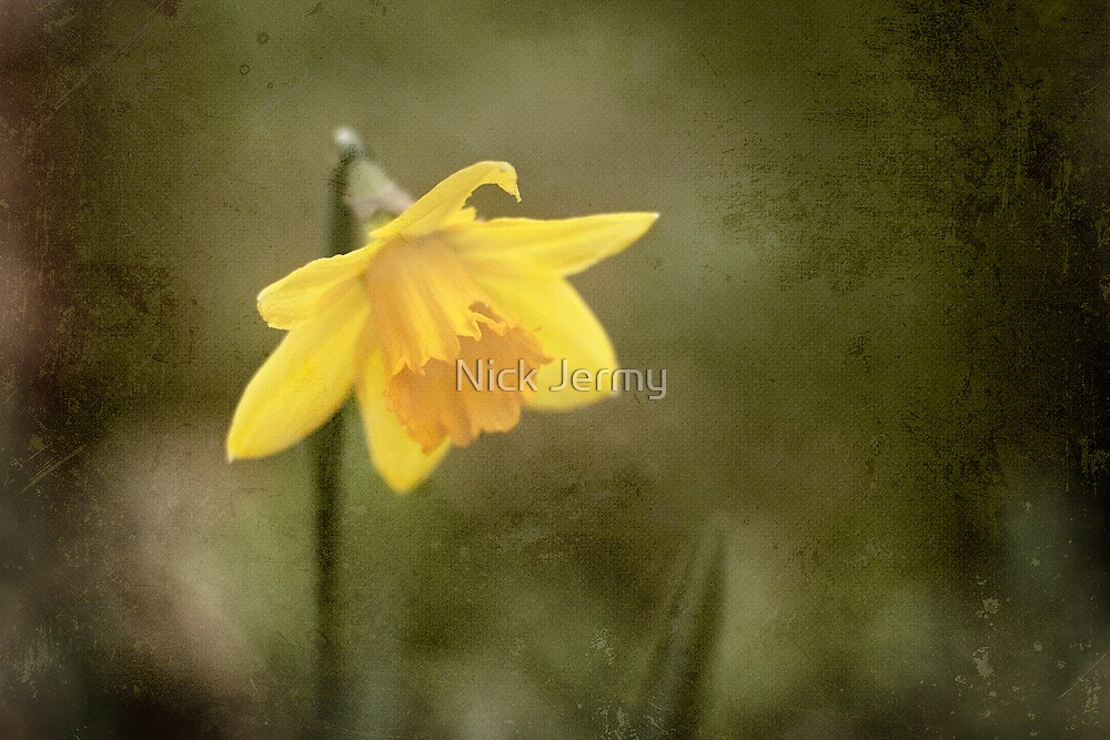 Daffodil by Nick Jermy