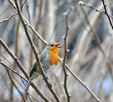 Robin in Full Song by Chris Monks
