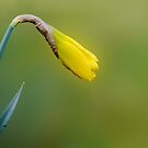 My first daffodil bud by Photos - Pauline Wherrell