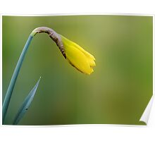 My first daffodil bud Poster
