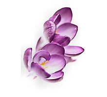 Serene Crocus... Photographic Print