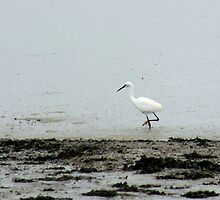 Little Egret by Vicki Spindler (VHS Photography)