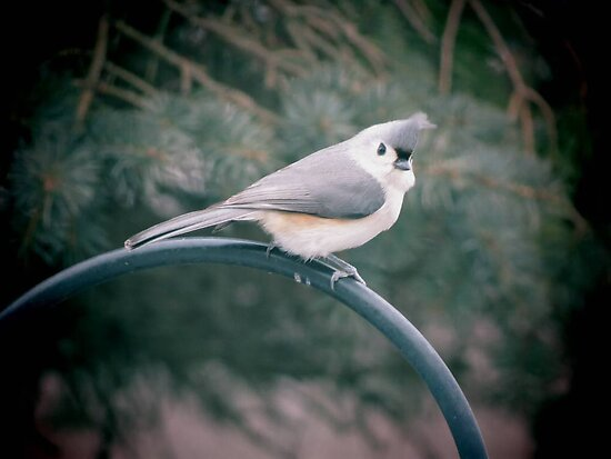 Tufted Titmouse by Veronica Schultz